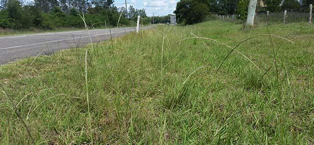 Giant Parramatta Grass 2