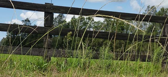 Giant Parramatta Grass 3