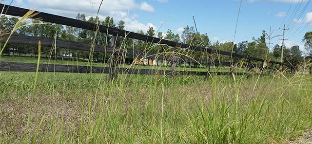 Giant Parramatta Grass 4