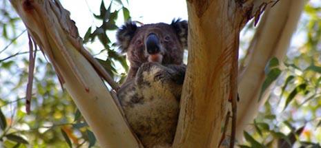 Image of a koala