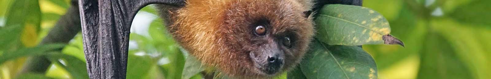 Flying Fox header image