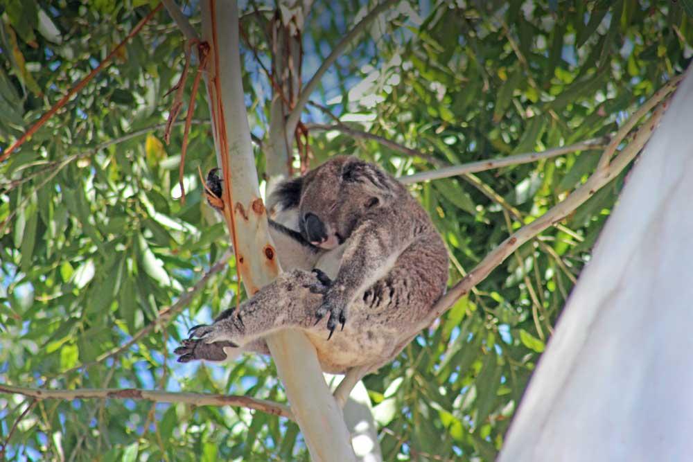 Image result for port stephens koalas