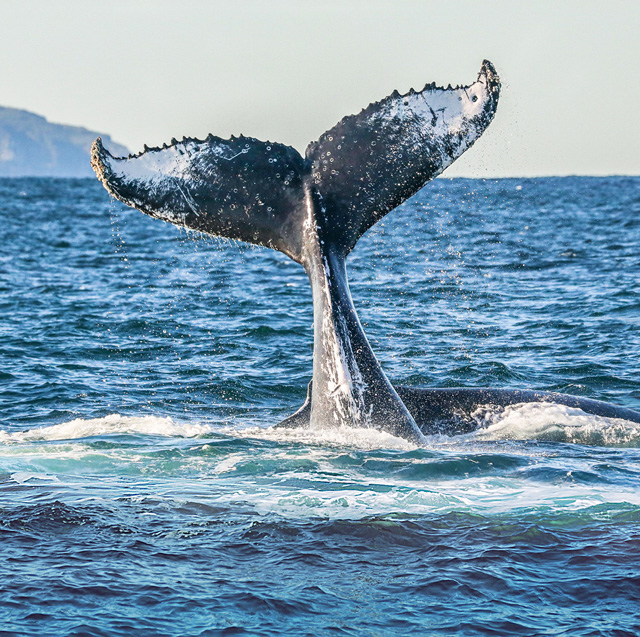 Tail of a humpback whale poking up out of the dark blue water