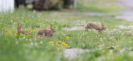 3 rabbits in the grass in a suburban street