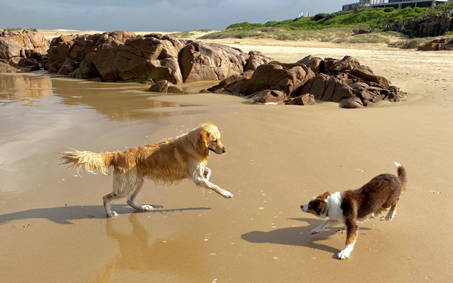 A Golden Retriever and brown and white Border Collie playing together at Birubi Beach