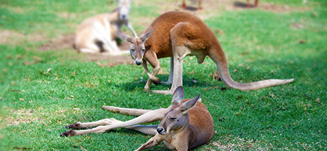 Kangaroos and Oakdale Farm