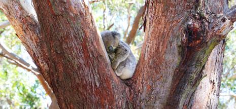 Koala clinging on to tree