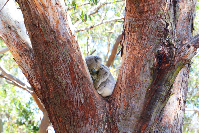 A koala rests in the fork of a tree at the Port Stephens Koala Sanctuary