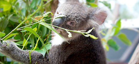 Koala at Oakdale Farm